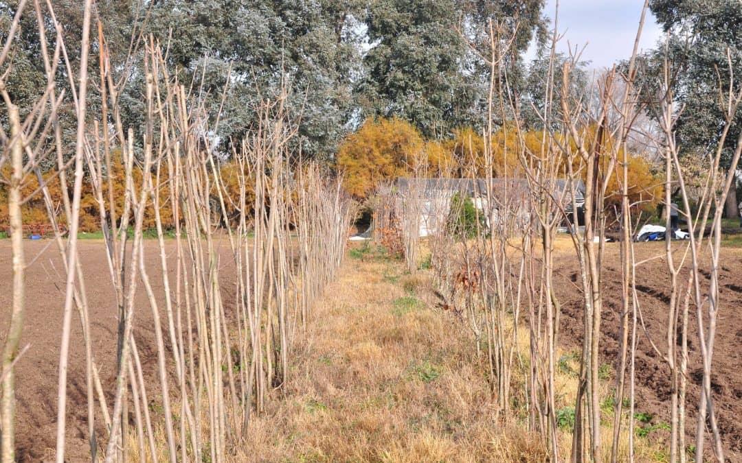 El vivero municipal entregará álamos a los productores de la zona rural