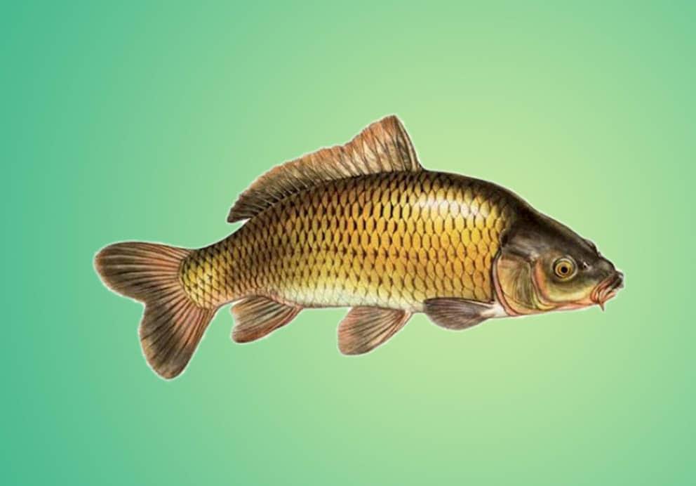 Se autoriza la pesca comercial de carpa