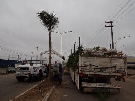 Segunda etapa de colocación de palmeras